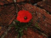 Poppy growing between bricks on a gate pillar