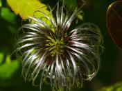 Mop head from a Cyclamen flower