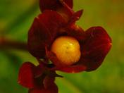 Rose of Sharon Fruit