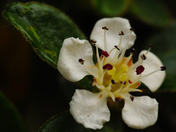 Cotoneaster Flowers