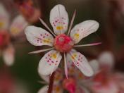 Saxifraga Flowers
