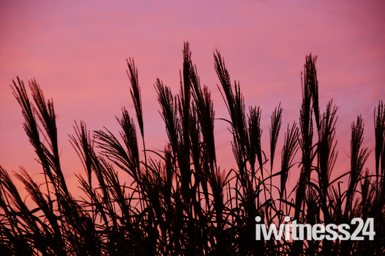 Silhouetted Zebra Grasses