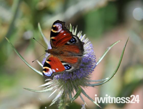 Flutterbys around my garden