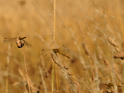 Dragonflies blending and verging with Background