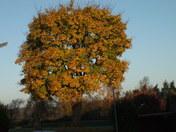 Walnut Tree in Early Morning Frost