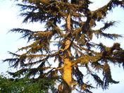 Deadora Cedar in early morning sunshine in Harleston
