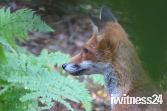 FOX CUB after some food