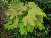 Young Sycamore tree