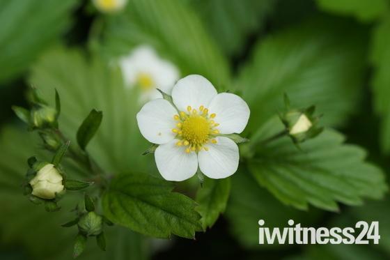 Wild Strawberry in flower