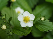 Wild Strawberry in flower