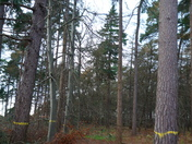 A11 Pine trees dual carriageway London Road Thetford Forest