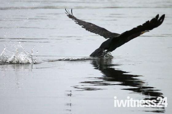 Barton Broad Cormorant