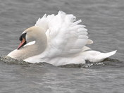 an angry male mute swan defending his territory