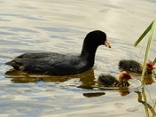 Coot With Young