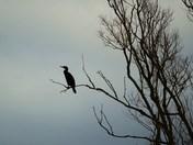 Cormorant Flying High In The Sun