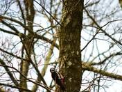 Geat Spotted Woodpecker