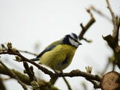 Blue Tit In The Tree
