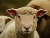 Sheep And Winter Lambs
