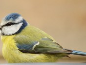 Lots Of Blue Tits Photos