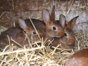 Belgian hare babies