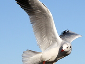 Seagull at Woodbridge in Suffolk