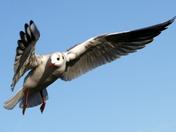 Gull at Woodbridge suffolk