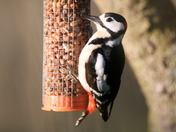 Submission for readers picture of the day page - woodpecker in my garden