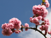 Readers picture of day  submission -  Cherry blossom, blue sky and fluffy cloud