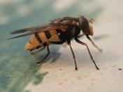 False wasp