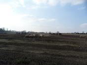 Pig Farm In Gt. Cressingham Norfolk