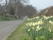 1 Mile of Daffodils - WOW - Honing Norfolk