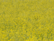 Oil seed rape at Glandford