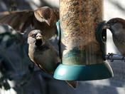Sparrows galore!