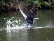 Cormorant takes off!