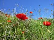 Poppyland by the sea