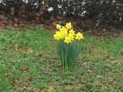 Daffodils at North Devon District Hospital