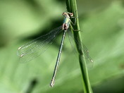 The Willow Emerald Damselfly