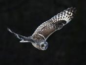 British birds  X Short eared owl