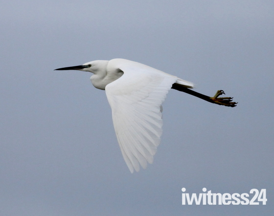 British birds Z Little egret