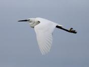 British birds Z Little egret