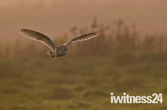 Moody, Misty Barn Owl.