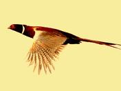 British birds in flight A