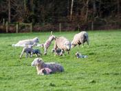Spring lambs in their rain jackets