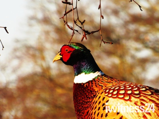 Our beautiful, resident Pheasant, Phred!