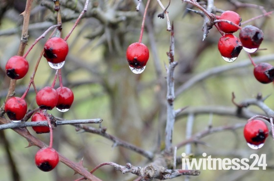 No snow- just rain - with raindrops on hawthorn berries