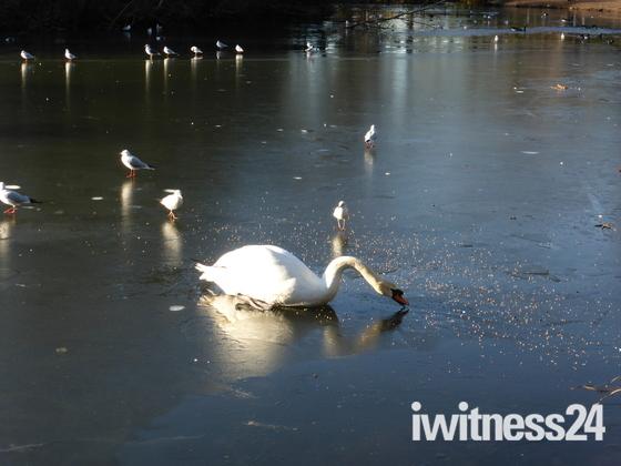 Swan in a Frozen lake