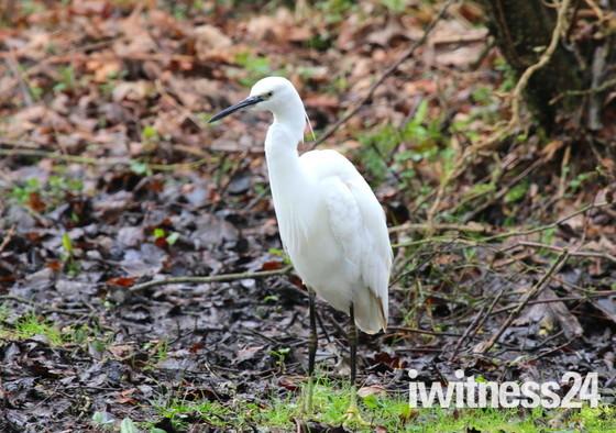 Fairhavens Egrets