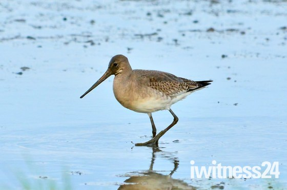 redshank - godwit-dunlin cley marsh