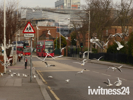 Seagulls visiting Cranbrook Road Ilford