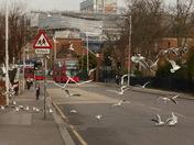 Seagulls visiting Cranbrook Road Ilford
